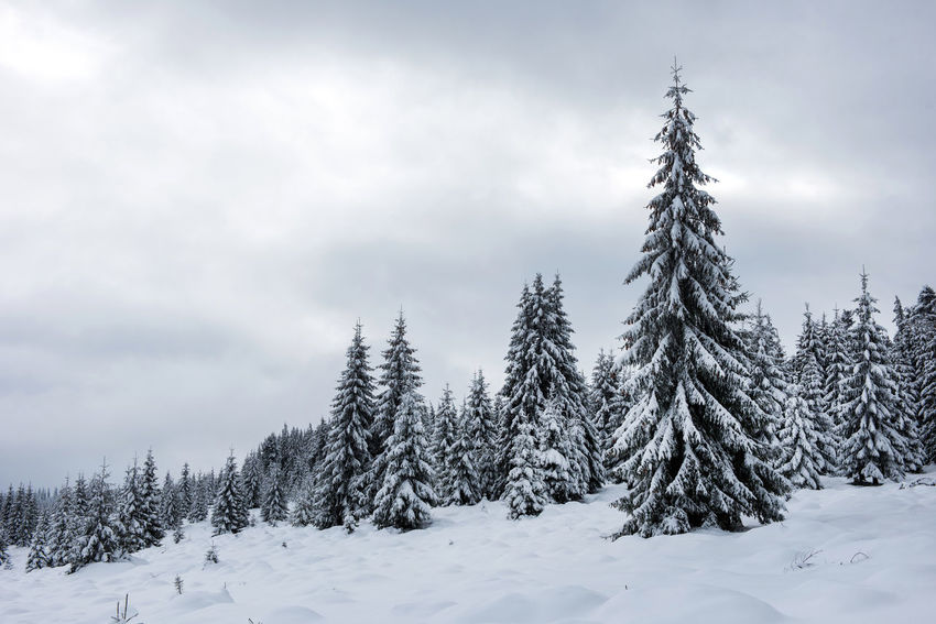Winter trees covered by snow in the mountains. Christmas greetings Christmas Fairy Winter Mountains Winter Vacation Winter Landscape Wintertime Xmas Beauty In Nature Cold Temperature Day Fir Trees Idyllic Nature No People Outdoors Scenery Scenics Snow Snow Covered Landscape Snow Covered Trees Winter Winter Holidays Winter Magic Winter Trees Winter Wonderland