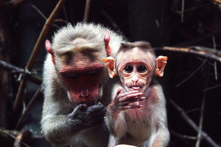 Monkeys Eating Eyes Eyes Are Soul Reflection