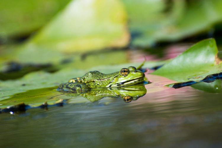 Frosch im Spiegel😉 Portrait Animal Portrait Grugapark Pet Portraits Outdoor Outdoors Outdoor Photography Nikon D7200 Spiegelung Spiegelbild Animals In The Wild No People Animal Themes Animal Wildlife Beliebte Fotos Frog Frosch Lost In The Landscape EyeEmNewHere Water Lake Nature Swimming Reptile Close-up Day One Animal