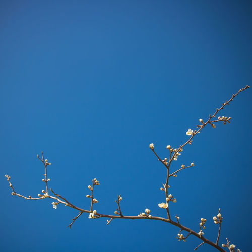 Sky Blue Low Angle View Plant Clear Sky Beauty In Nature Copy Space Tree No People Nature Growth Day Branch Flower Flowering Plant Outdoors Tranquility Sunlight Close-up Freshness Spring Springtime Spring Flowers Blue Sky Print