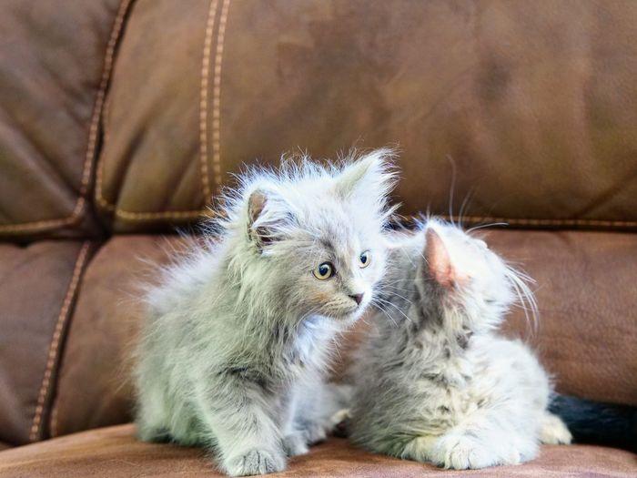 Kitties Kitten Pets Sitting Domestic Cat Young Animal Cute Animal Hair Kitten Close-up Feline Cat