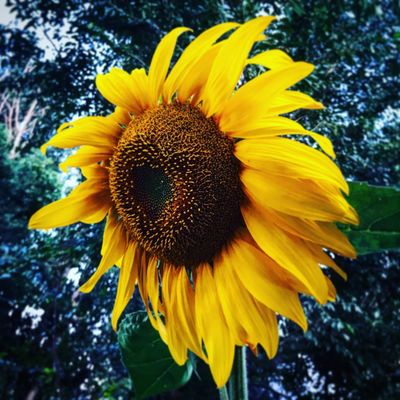 Sunflower Vulnerability