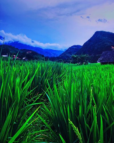 Rice Fields in Sa Pa in Vietnam. Agriculture Field Mountain Rural Scene Growth Beauty In Nature Sky Landscape Green Color Vietnam Travel