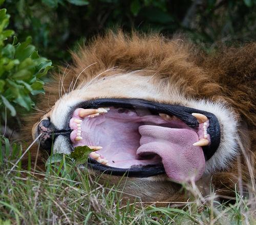 Africa Angry Animal Portrait Animal Themes Animals In The Wild Bigfive Canine Close-up Dentist Feline Kenya Leo Lion Mammal Masai Mara Nature No People One Animal Roar Safari Safari Animals Simba Teeth Tongue Wildlife Photography
