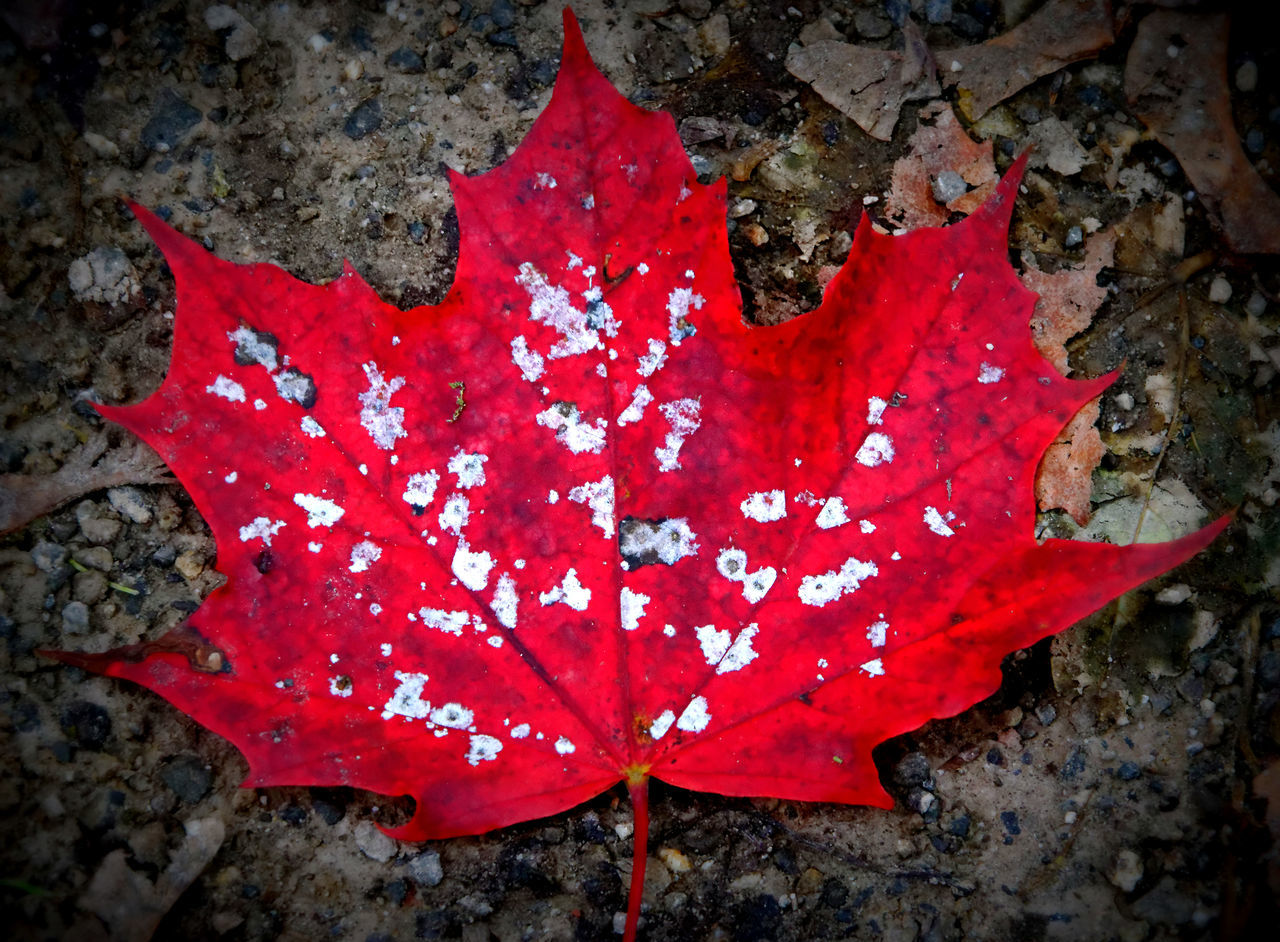 red, leaf, autumn, maple leaf, dry, nature, maple, change, outdoors, day, close-up, no people, beauty in nature, water, fragility