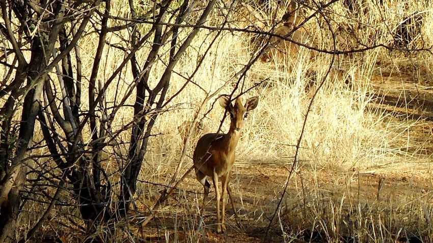Animals In The Wild Animal Themes Animal Wildlife Nature Mammal One Animal Outdoors Grass Day Tree Beauty In Nature Steenbok Shy Curious Cute Horns Sweet Field
