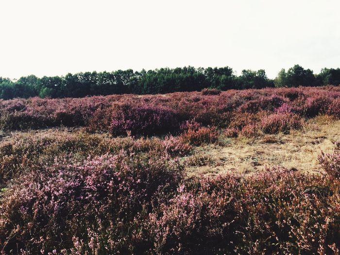 Lübeck Heather Flower Beauty In Nature Field Landscape