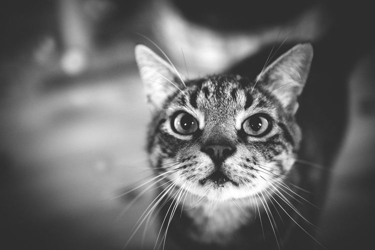Animal Eye Animal Themes Blackandwhite Close-up Day Domestic Animals Domestic Cat Feline Indoors  Looking At Camera Mammal No People One Animal Pets Photography Portrait Whisker First Eyeem Photo EyeEmNewHere Welcome To Black