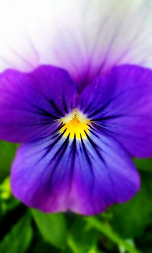 Purple Pansie. Flower. YelFlowerlow. Purple. Petal Fragility Beauty In Nature Purple Flower Head Nature Growth Freshness Plant Day Close-up Outdoors No People Blooming Petunia Passion Flower