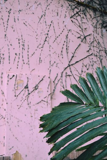 Close-up of pink flowering plant against wall