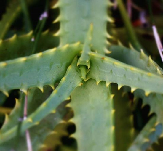 Helloworld アロエ トゲトゲ 緑 50日 きった Japan Miyazaki Nature Aloe Thorns Green Beautiful Plants Yard Pic 植物 かわいい 写真 写真撮ってる人と繋がりたい 苦い トゲ 寒い 受験生 Team_jp jhp f4f