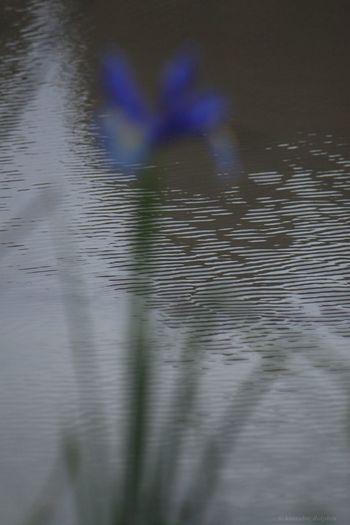⭐️阿蘭陀菖蒲(オランダアヤメ)⭐️Netherlands iris Netherlands Iris Flower EyeEm Flower Flower Photography 阿蘭陀菖蒲 オランダあやめ 菖蒲 Shading Off Japan