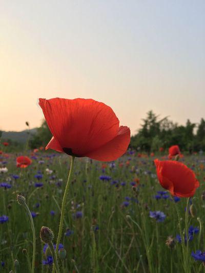 Incheon Grand Park 양귀비 Opium Poppies