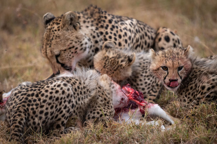 Family Of Cheetah Eating Animal On Field