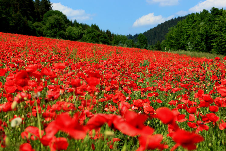 blooming poppyfield in the summer Abundance Agriculture Beauty In Nature Blooming Blossom Field Flower Flower Head Flowerbed Fragility Freshness Growth In Bloom Nature Petal Plant Poppy Poppyfield Poppyfields Red Rural Scene Scenics Springtime Tranquil Scene Vibrant Color