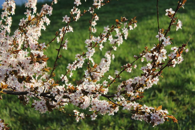 Close-up of cherry blossoms tree