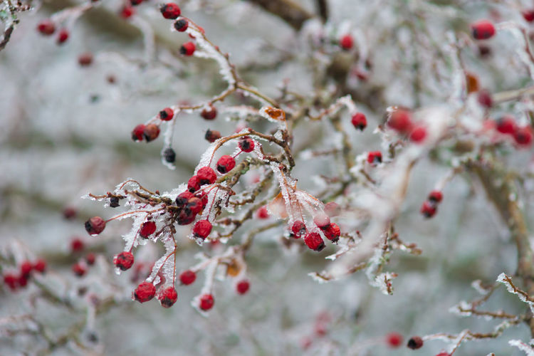 Beauty In Nature Branch Close-up Cold Temperature Fragility Frozen Fruit Nature No People Outdoors Red Rowanberry Snow Tree Winter