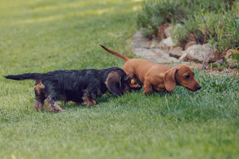 Rough-haired Dachshund Beige Wirehaired Female Background Animal Purebred Wire-haired HaiRED Canine Garden Animals Watching Dog Adult Front Mammal Friendly Hunting Portrait Sausage Wiener Beautiful Standing Breed Color Young Shape Air Love Sad Cute Outdoor Green Spring Sunny Day Outside Small Beauty Pet Dwarf Black Brown Pedigree Adorable Daschund Kaninchen Body