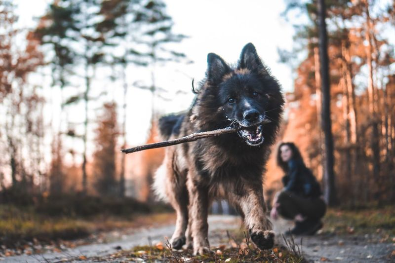 Pet Mammal Playing Stick Playful Dog Pet Photography  Playful Throwing  Animal Themes Mammal Animal One Animal Domestic Canine Dog Pets Vertebrate Domestic Animals Nature Focus On Foreground Outdoors Full Length No People Land Tree Plant