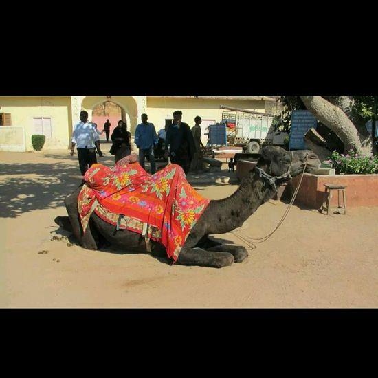 Camel Animal@jaipur