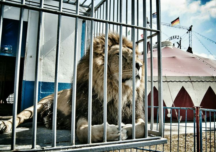 Caged :( Caged Freedom Lion To Be Uncaged Circus Caged Caged In The Photojournalist - 2015 EyeEm Awards