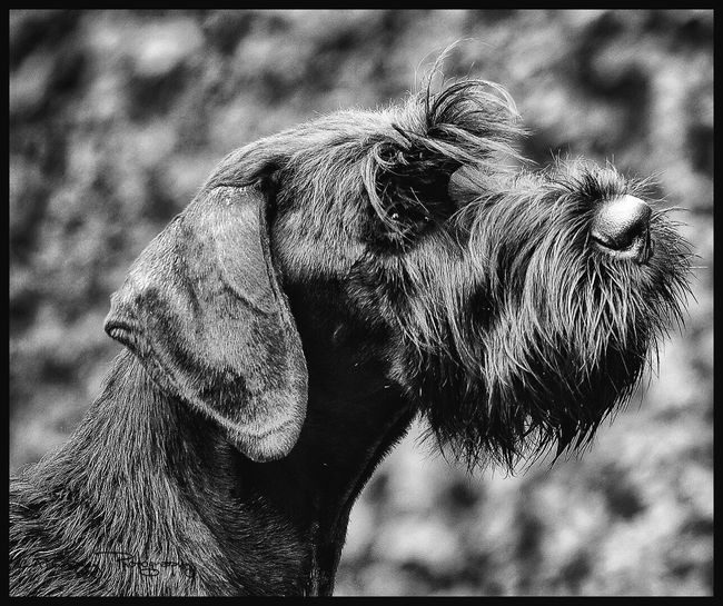 Man's Best Friend One Animal Animal Themes Mammal Domestic Animals Focus On Foreground Outdoors Day No People Close-up Pets Nature Giant Schnauzer