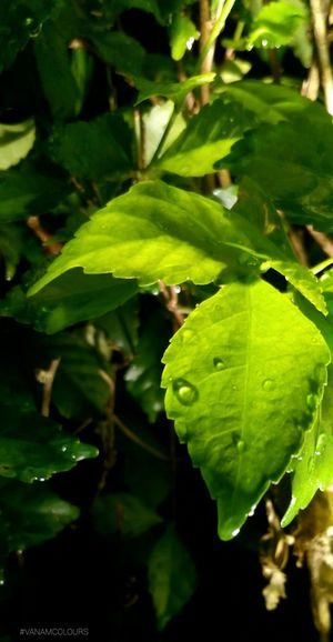 Fresh Leafs after Raindrops Greenery