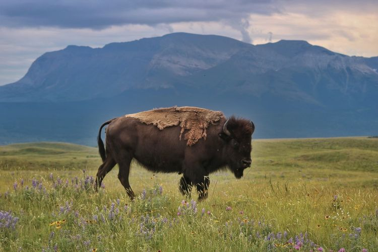 American bison on field against mountain during sunset