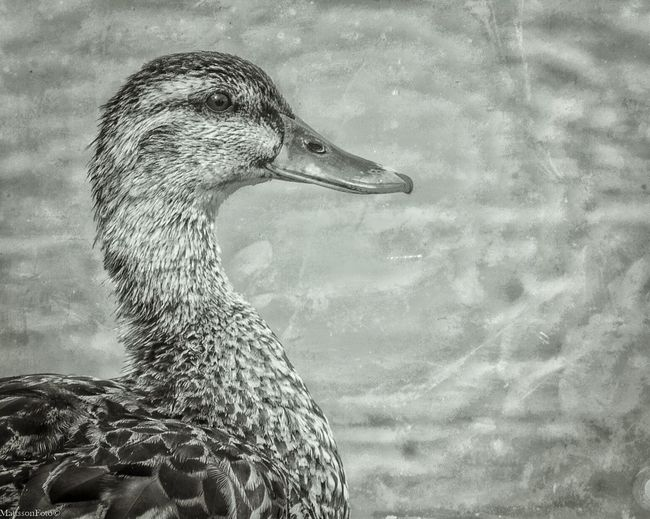 Duck Blackandwhite Portrait Picture Art Awesome_nature_shots Nikkor 70-200 F4 Vr Nikon D750 Nikonphotographer Nikonphotography Sweden Nikon Painting With A Camera