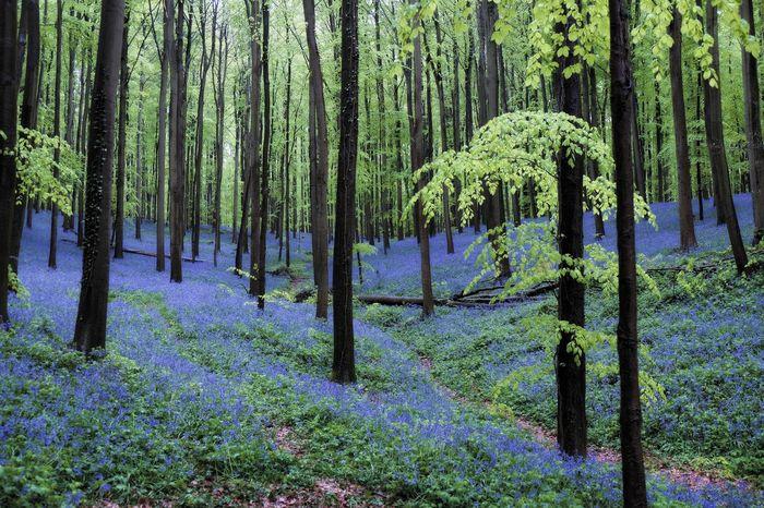 Flower Carpet Hallerbos - Bois De Hal - Bluebells Wood Forest Springtime Green Blue Fresh Landscape Flowers Magic Feel The Journey Hallerbos