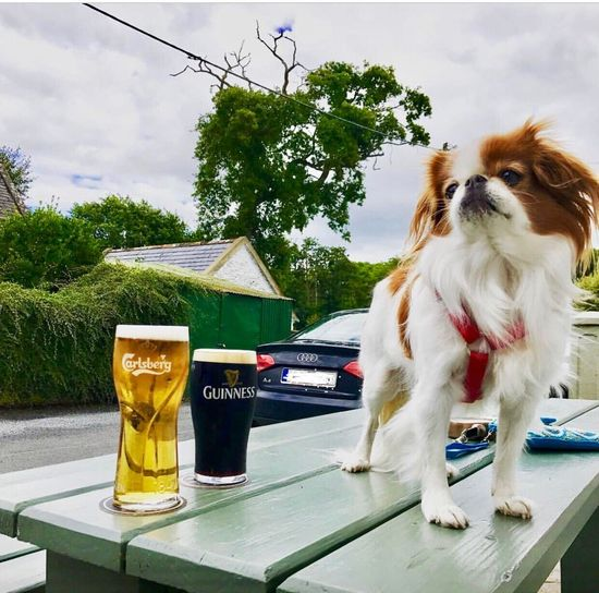 Humm....a pint of Guinness or Carlsberg? Dog Tree Pets Day Outdoors No People Sky Animal Themes Nature Mammal Guinness Carlsberg Japanese Chin