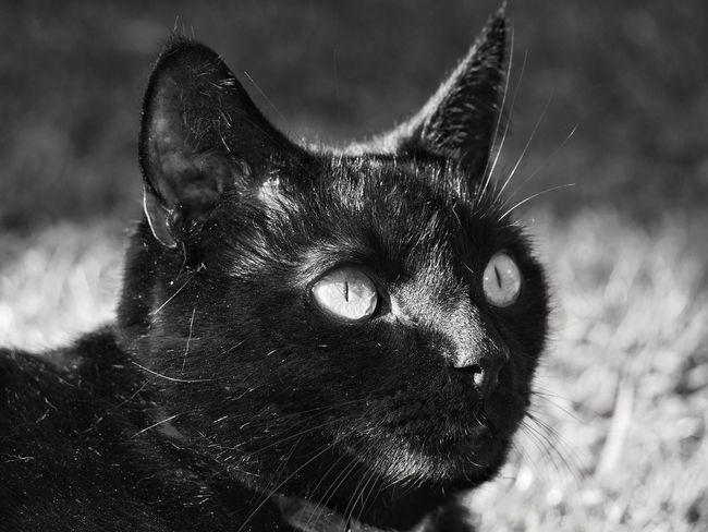 Bagheera! Pets Portrait Feline Domestic Cat Close-up Cat Family Cat Animal Eye
