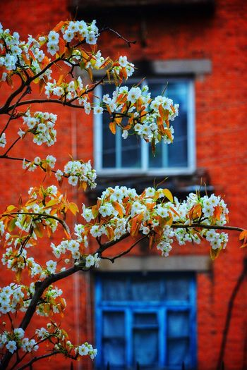 Color Flowers In Rain Rainy Days Pear Blossoms Pear Tree  Blossom Blossom Buds Blossom Time🌺 White Flower Architecture Plant Flowering Plant Built Structure Flower Building Exterior No People Red Growth Nature Fragility Outdoors Beauty In Nature
