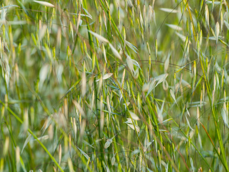 Nature Agriculture Avena Avena Fatua Background Backgrounds Beauty In Nature Cereal Plant Close-up Environment Field Freshness Full Frame Grass Green Color Growth Nature Oat Oats Oats Bars Plant Spring Springtime Texture Tranquility