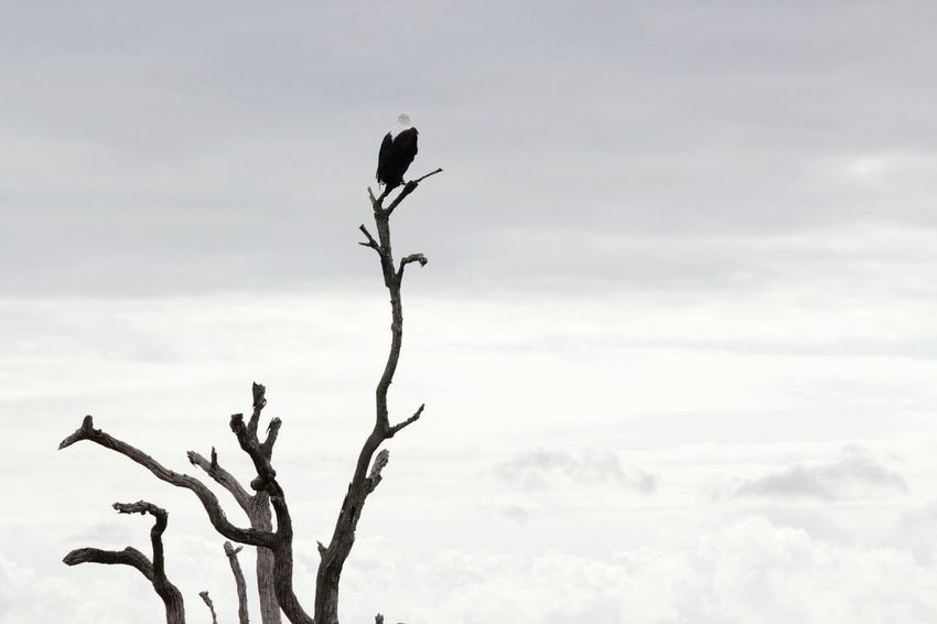 Fish eagle in the Kruger Park ... Krugerpark Kruger African Fish Eagle Africa South Africa Contrast View Black And White Cloudy Skies