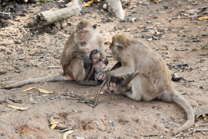 Long-tailed macaques with infants on field at zoo