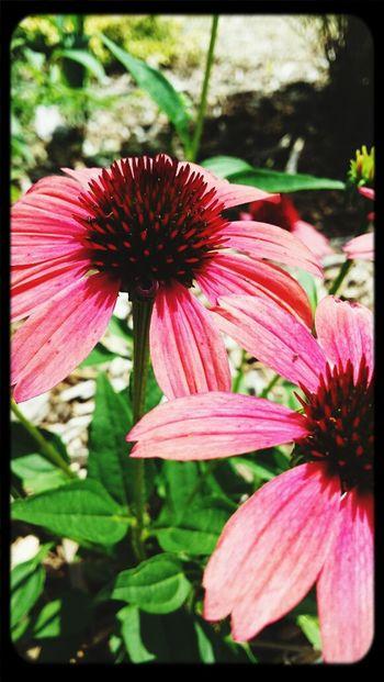 Pink Flower Park Closememorialpark Springfield, MO #summer