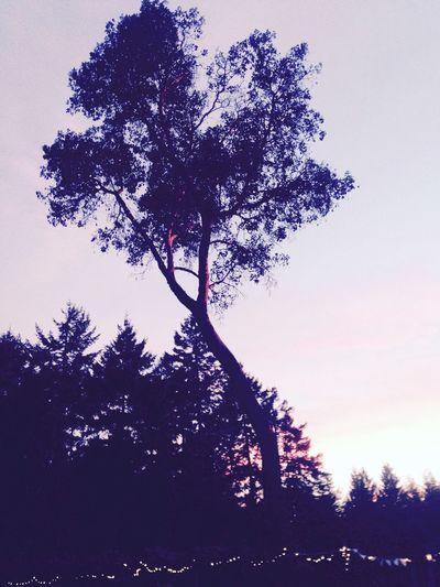 Sunset Arbutus