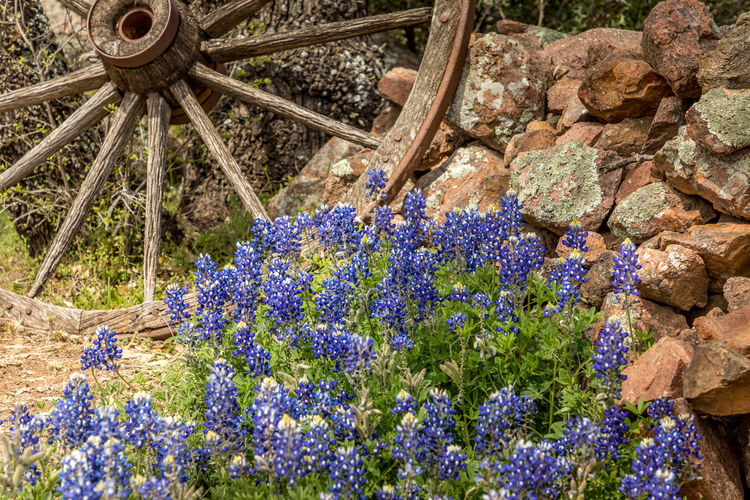 Willow City loop, Texan landscape in spring with wildflowers and a wooden wheel Willow City Loop Texas Blue Bonnets Blue Bonnet Flowers Springtime Spring Rural Scene Antique Car Vintage Rustic My Best Photo Hill Country Texas Flower Flowering Plant Plant Nature Purple Day Growth Beauty In Nature No People Freshness Blue Outdoors Close-up Fragility Rock Solid Land Rock - Object Vulnerability  Field Flower Head Lavender