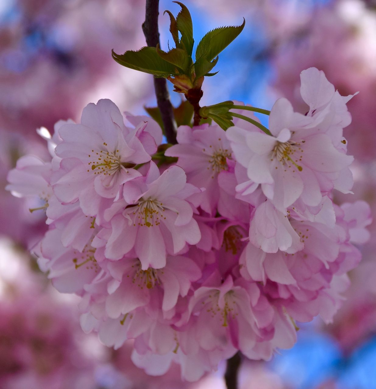 flower, nature, beauty in nature, petal, growth, fragility, no people, freshness, plant, blossom, close-up, flower head, outdoors, pink color, blooming, day, springtime