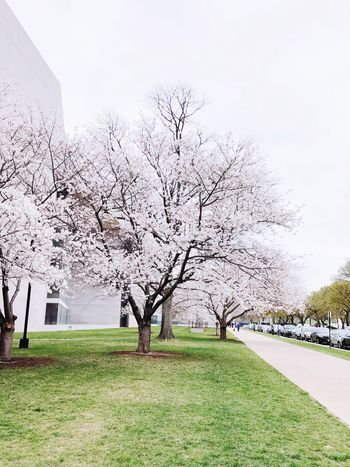 Lovely vibes Travel Photography Washington, D. C. Cherry Blossom Plant Sky Growth Nature Day Tree Grass Outdoors Beauty In Nature