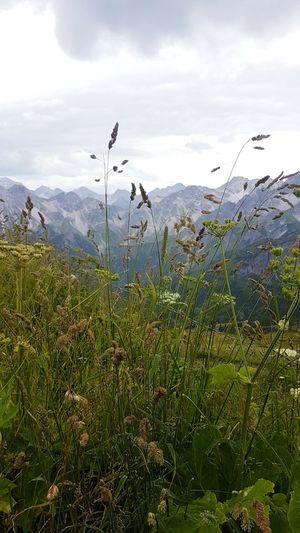 Mountain Fellhornbahn Germany Flying Grasses Mountain Herbs High Summer Sun On Top Sky Plant Life