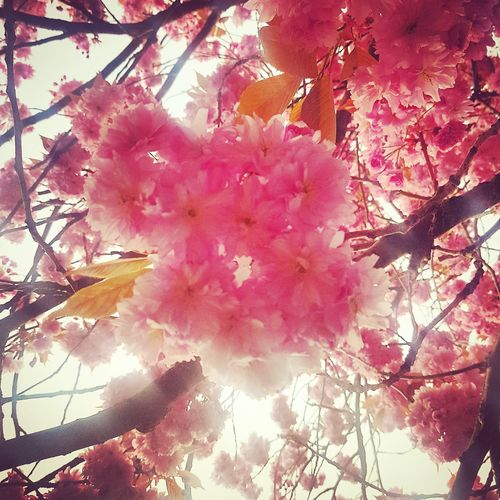 Blossom Tree Growth Beauty In Nature Low Angle View Nature Flower Branch Outdoors Blossom Day Pink Color Springtime Plant Freshness Close-up