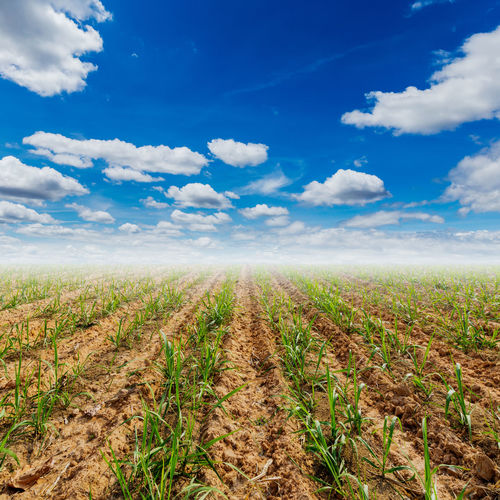Sugar Cane Field Sky Cloud - Sky Landscape Agriculture Land Plant Environment Rural Scene Scenics - Nature Beauty In Nature Tranquil Scene Nature Growth Tranquility Crop  Farm No People Blue Day Outdoors Plantation