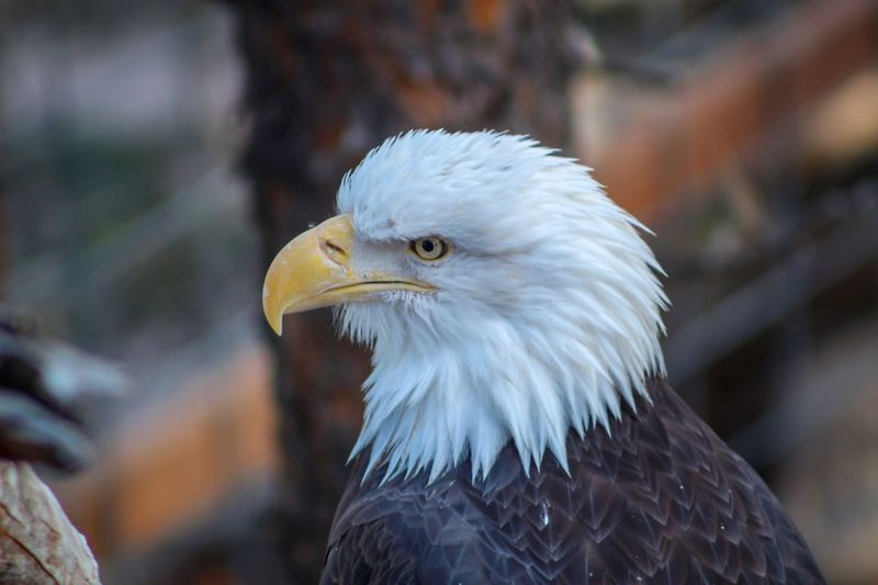 Bird Animal Animal Themes Vertebrate Bald Eagle Bird Of Prey One Animal Eagle - Bird Animal Body Part Animals In The Wild Animal Wildlife Eagle Focus On Foreground Animal Head  Close-up Looking No People Beak Nature