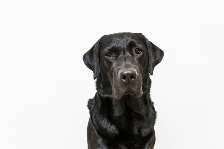 Portrait of black dog against white background
