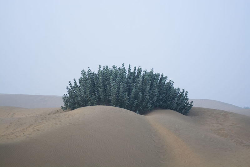 Tree Plant Sky Land Tranquility Landscape Tranquil Scene Beauty In Nature Scenics - Nature Environment Sand Desert Nature Sand Dune No People Clear Sky Copy Space Non-urban Scene Arid Climate Growth Climate Outdoors