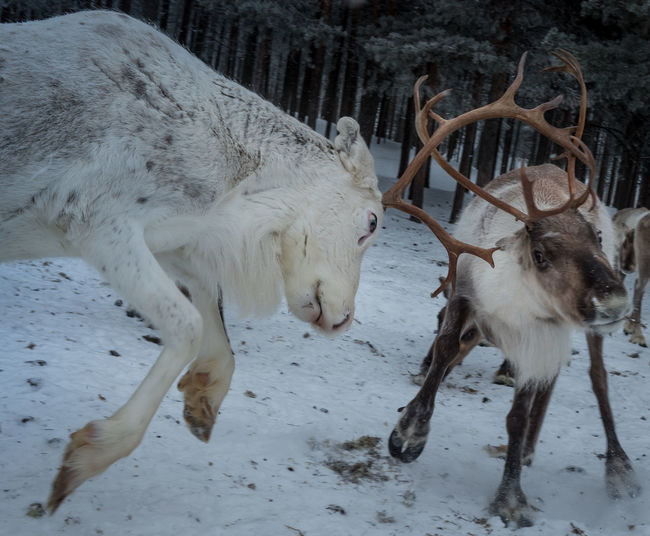 Elk Finland Lapland Winter Animals Cold Temperature Polar Circle Wildlife