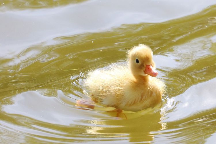 #tallik - Ente Tallik Reflection Yellow Süss Sweet Baby Ente Wasser Animal Themes Bird Animal Water One Animal Animal Wildlife Animals In The Wild Swimming Lake No People Young Animal Young Bird Nature Day Duck Close-up Poultry Rippled Vertebrate