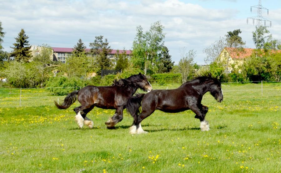Shire Horses Horses Shire Animal Animal Themes Domestic Domestic Animals Horse Photography  Land Mammal Nature No People Shire Horses